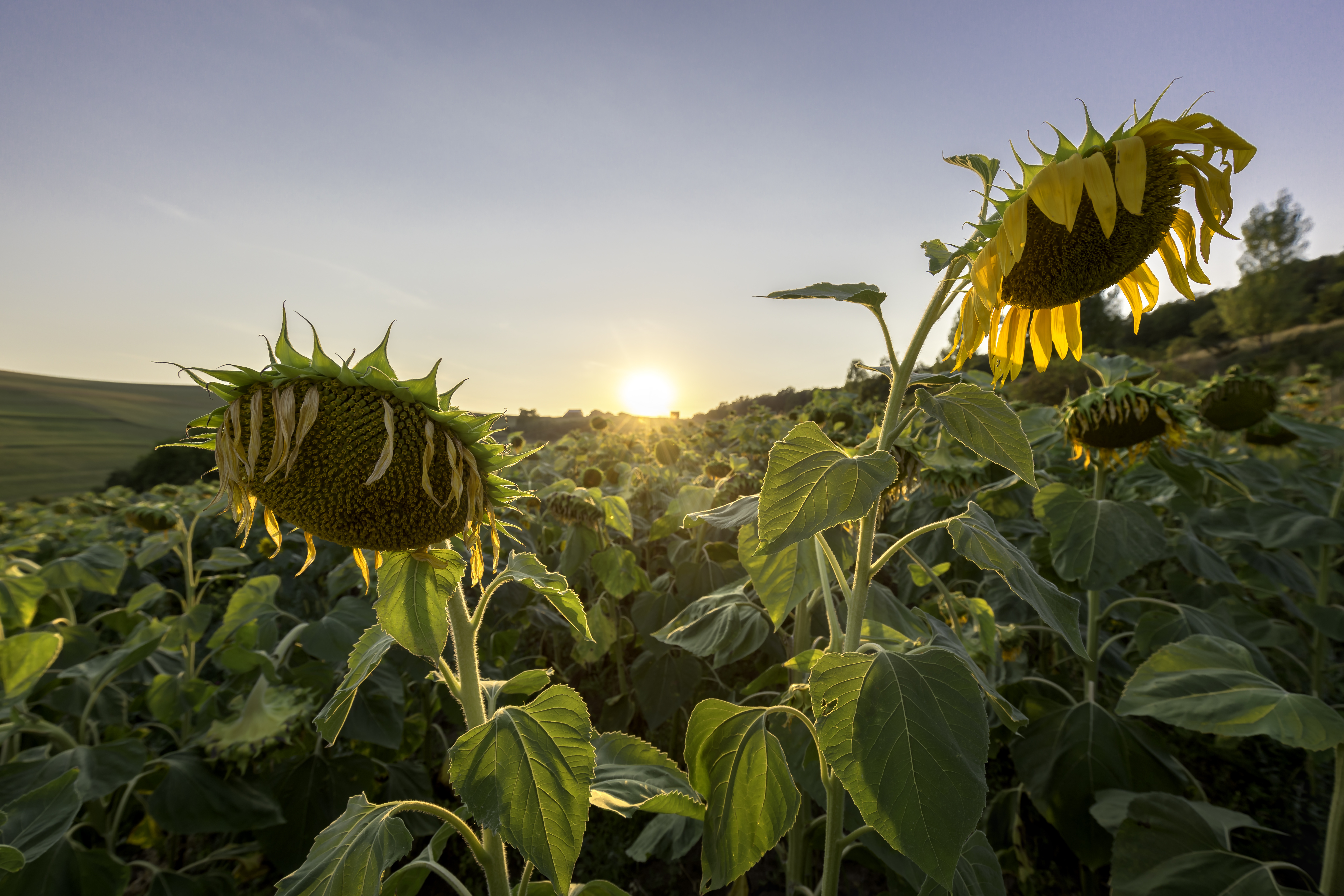 a field of sunflowers during sunset